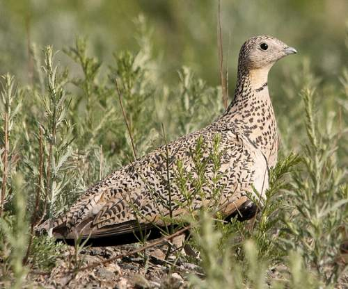 Indian birds - Picture of Black-bellied sandgrouse - Pterocles orientalis