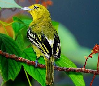 Mengetahui Tempat Sarang Burung Cipoh/Sirtu Di Alam Liar Paling Lengkap