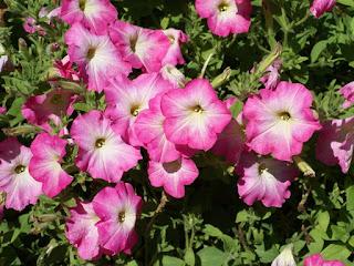 Petunia 'Easy Wave Pink Dawn' - Petunia x hybrida 'Easy Wave Pink Dawn'