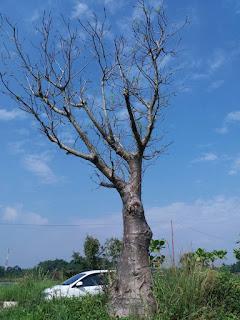 Kami tukang Taman minimalis menjual pohon tambleg, kaki gajah, adansonia dengan harga paling murah di Jakarta, kebayoran, kemang bangka, mampang, pasar minggu, Bogor, Depok, Kuningan ,Jakarta Selatan, Jakarta Utara, Jakarta Timur, Jakarta bara
