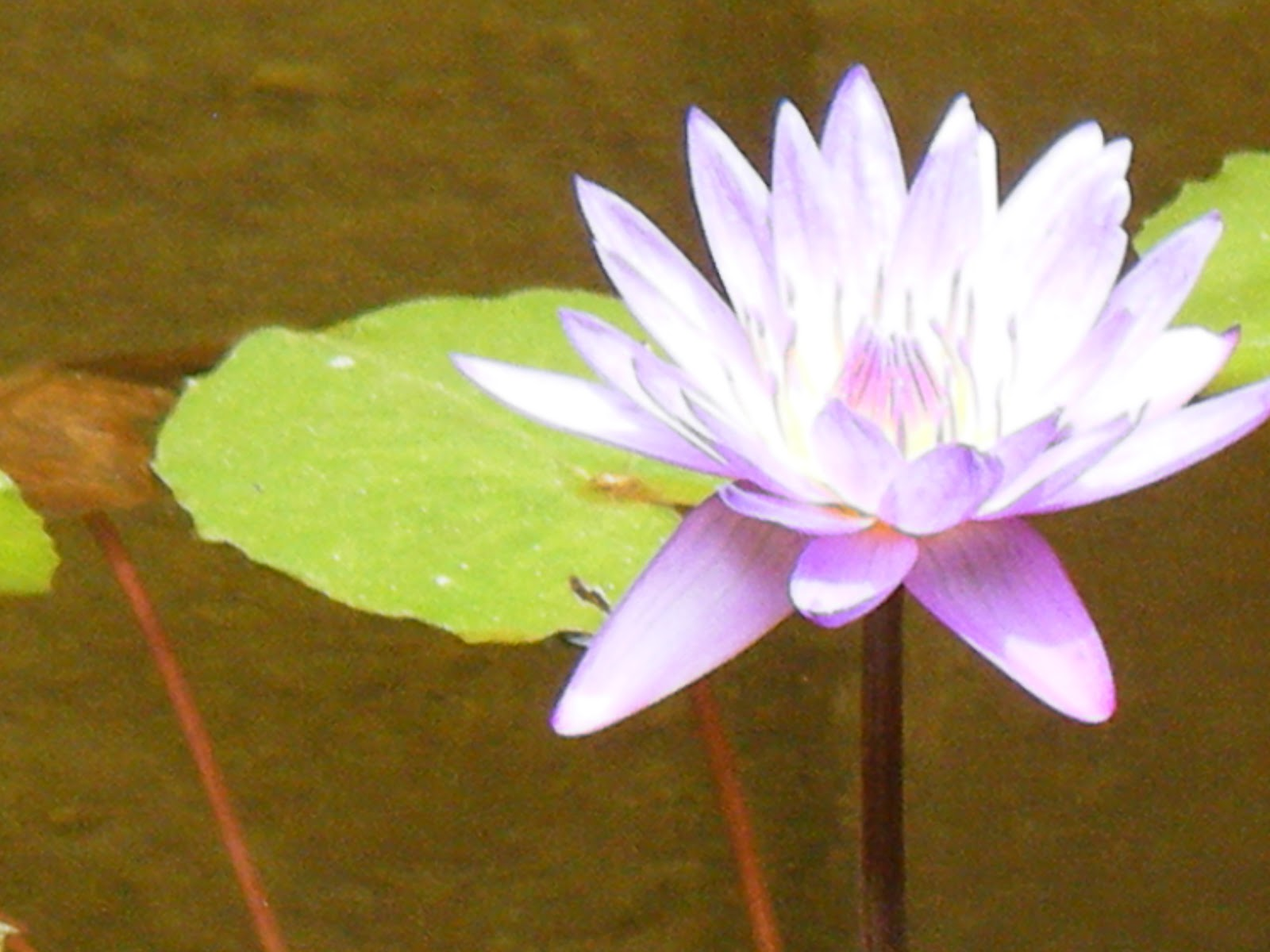 Jewel Box More Lotus Flower Love