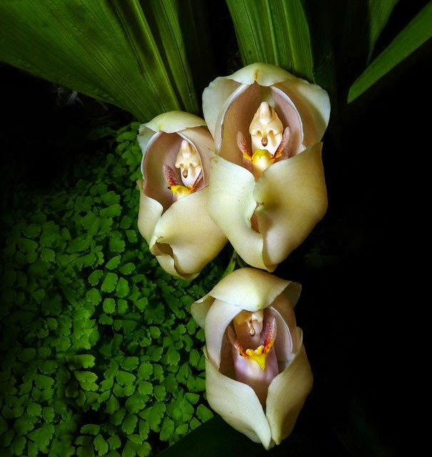 Swaddled Babies (Anguloa Uniflora) - 17 Flowers That Look Like Something Else