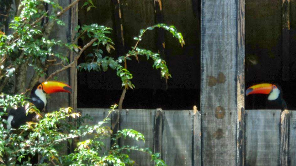 Tucanos de Bico Colorido, no Zoo de Gramado