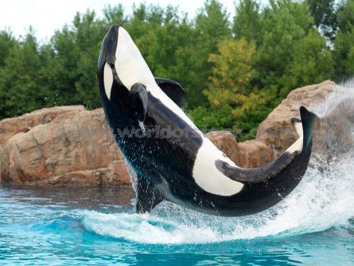 Cute Wallpapers Of Justin Bieber All Photos Gallery Orca Jumping Orca Jumping Out Of