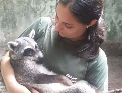 Meio Ambiente: Guaxinim encontrado em Goiana passa por transfusão de sangue na Paraíba