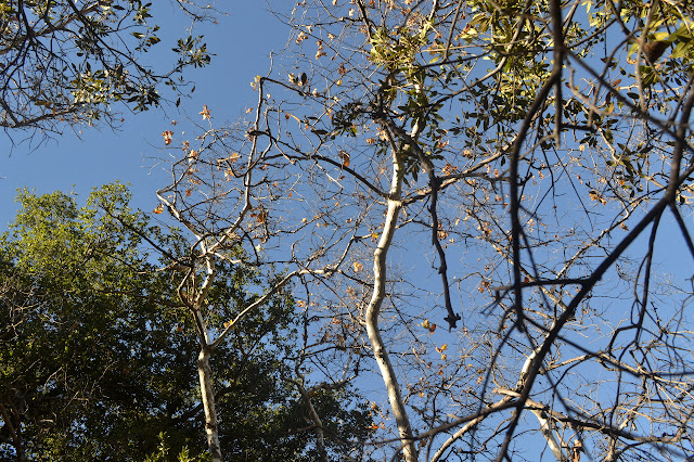 branches of the sycamore