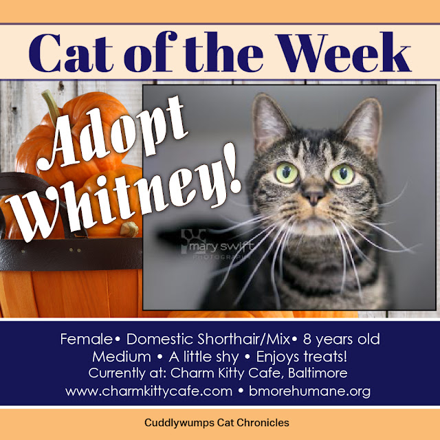 Cat of the Week: Adopt Whitney!