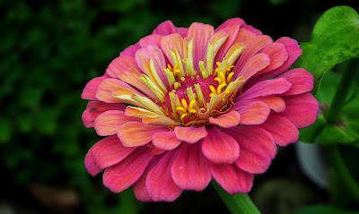 https://pixabay.com/pl/photos/cynia-kwiat-kolorowa-ogr%C3%B3d-natura-3909821/