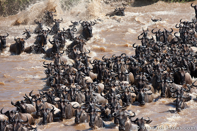 Masai Mara National Park Wild Animals - River Crossing