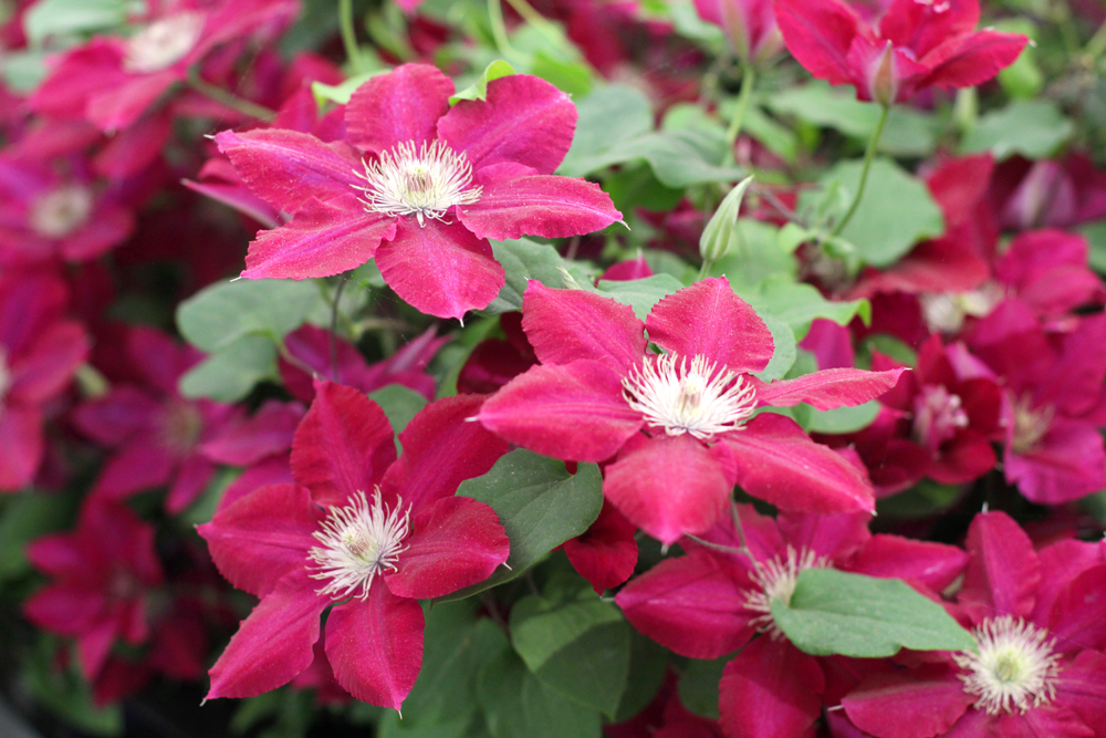 Red clematis at Chelsea Flower Show 2018 - London lifestyle blog