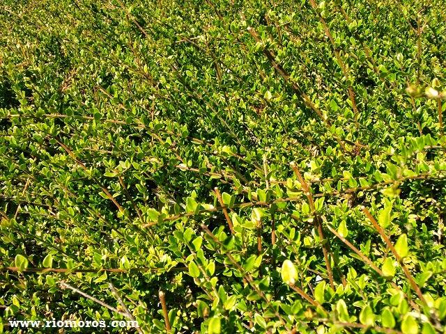 Madreselva nítida: Lonicera ligustrina var. yunnanensis