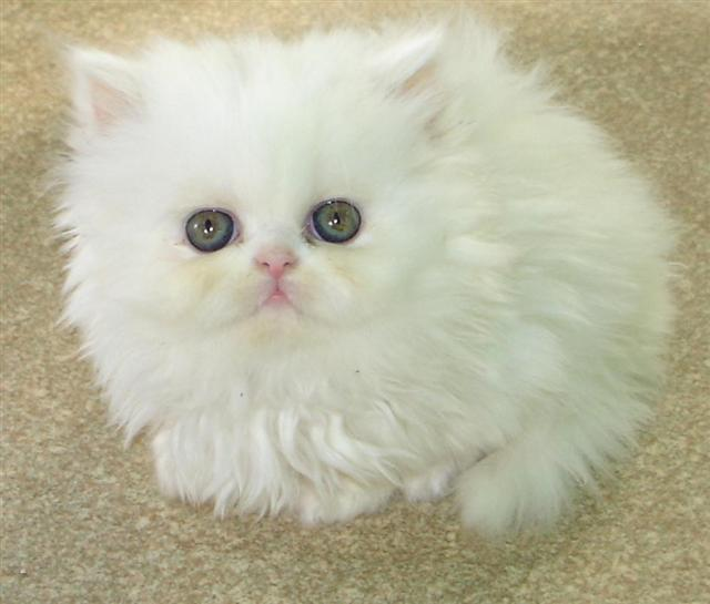 What Food Do Persian Cats Eat