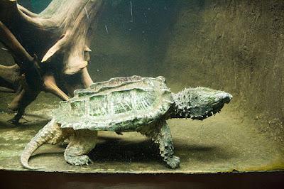 Habitat Karakteristik Alligator Snapping Turtle