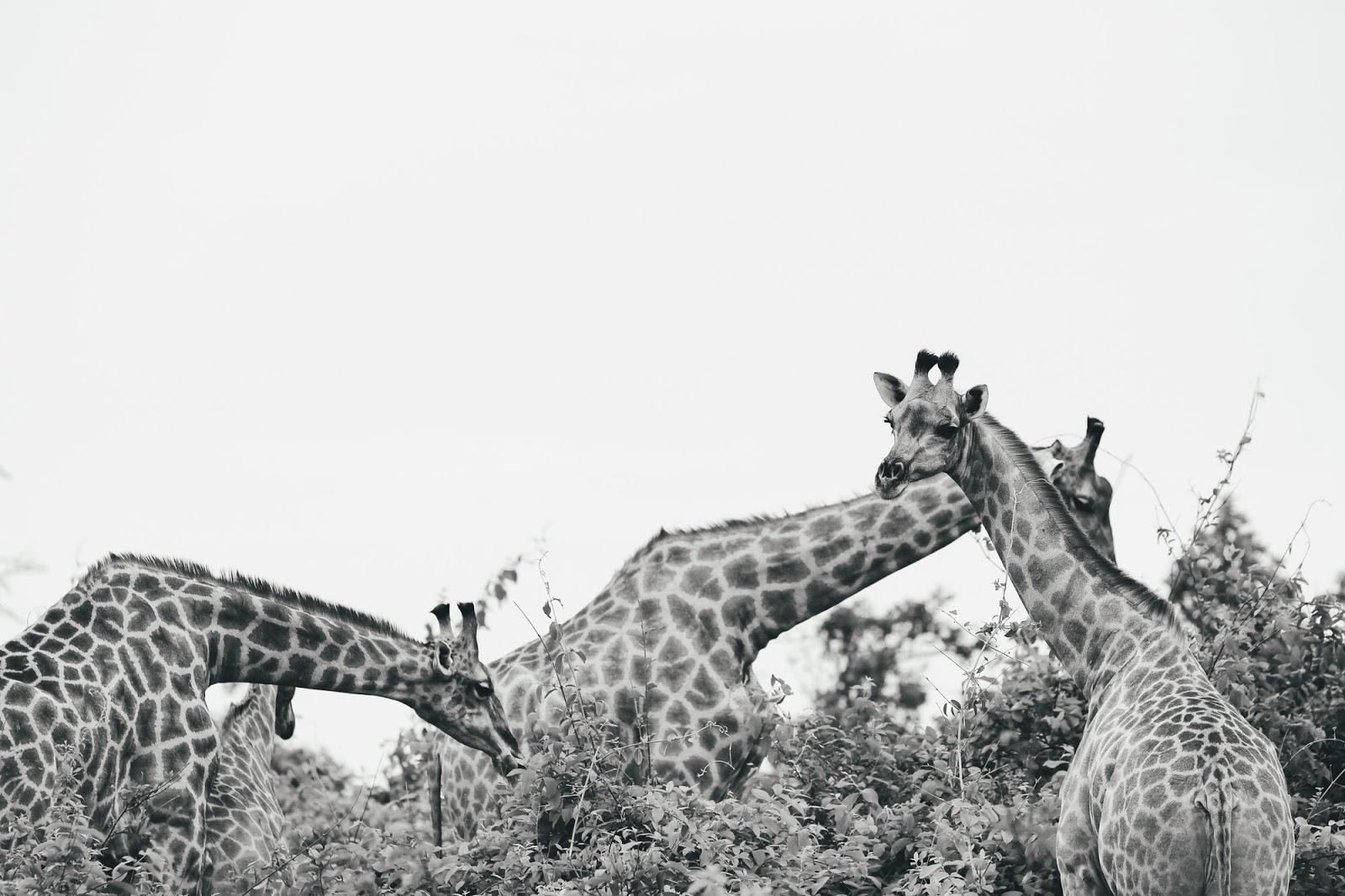 Photo Dairy Africa In Black And White The Journey Of Christine