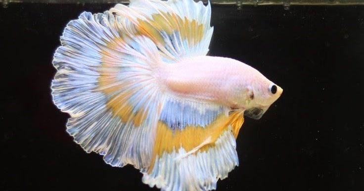 Kelebihan Memelihara Ikan Cupang - Ikan Cupang Hias Koi ...