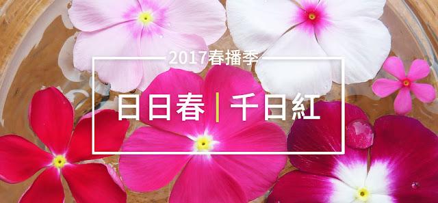 [2017春播季系列] 日日春&千日紅