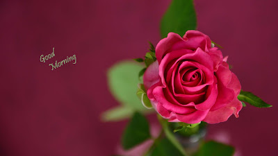 pink-red-nice-rose-wallpapers
