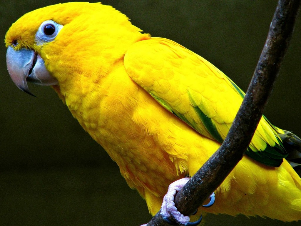 Global Pictures Gallery: Yellow Parrot HD Wallpapers