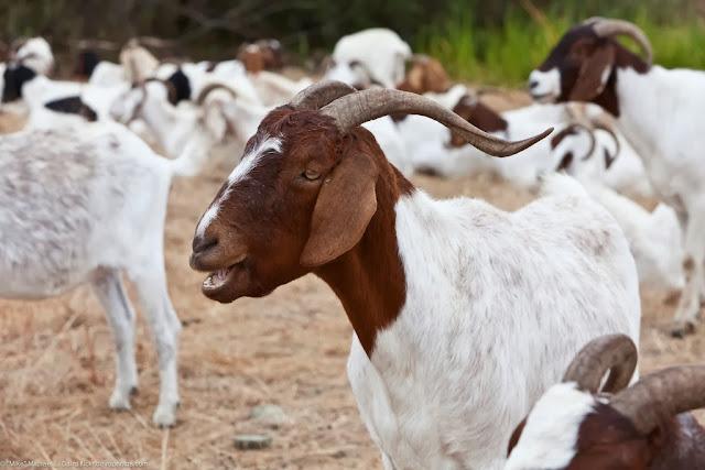 Ethiopia has Africa's largest livestock population