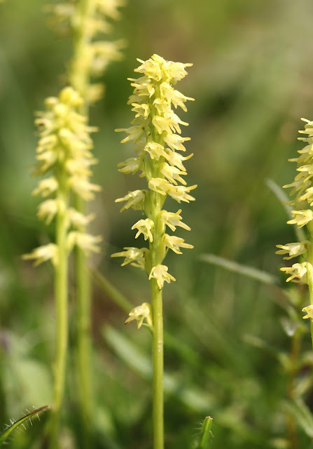 Musk Orchid - Hampshire