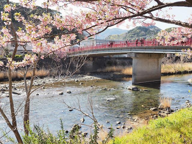 国道135号 河津 河津桜 菜の花