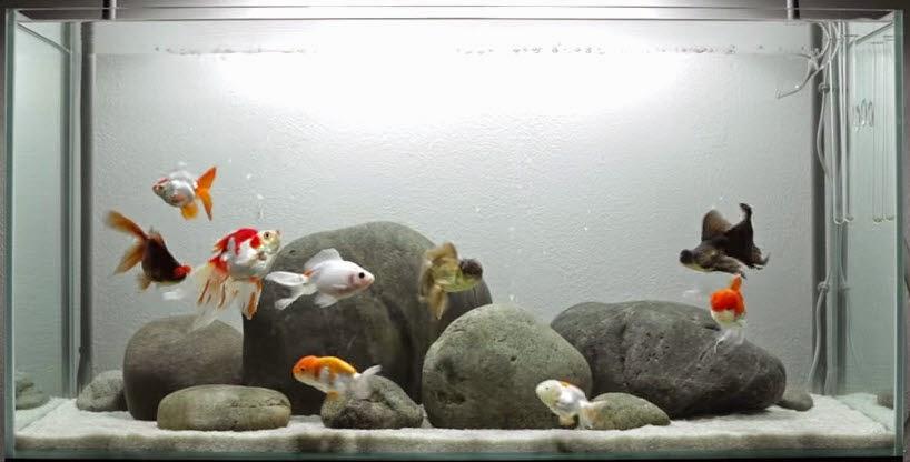 vinhaqua.com - Hồ cá trọn bộ - Hồ cá 3 đuôi
