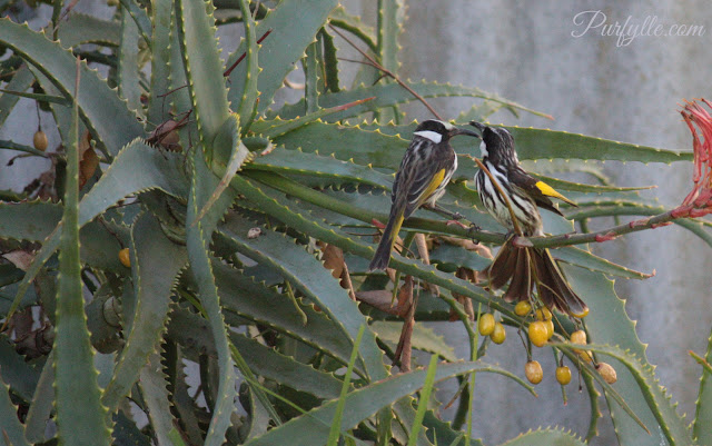 white-cheeked honeyeater pair