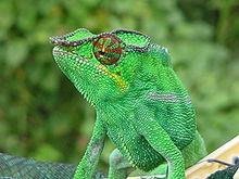 chamaleon, camaleón, Chamaeleonidae