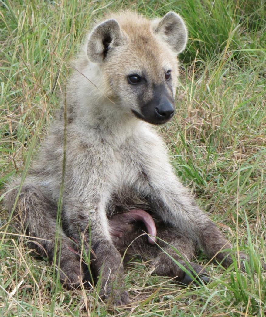 Notes From Kenya: MSU Hyena Research: Serena Hyena Superlatives!