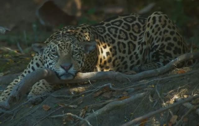Onça pintada ou Jaguar
