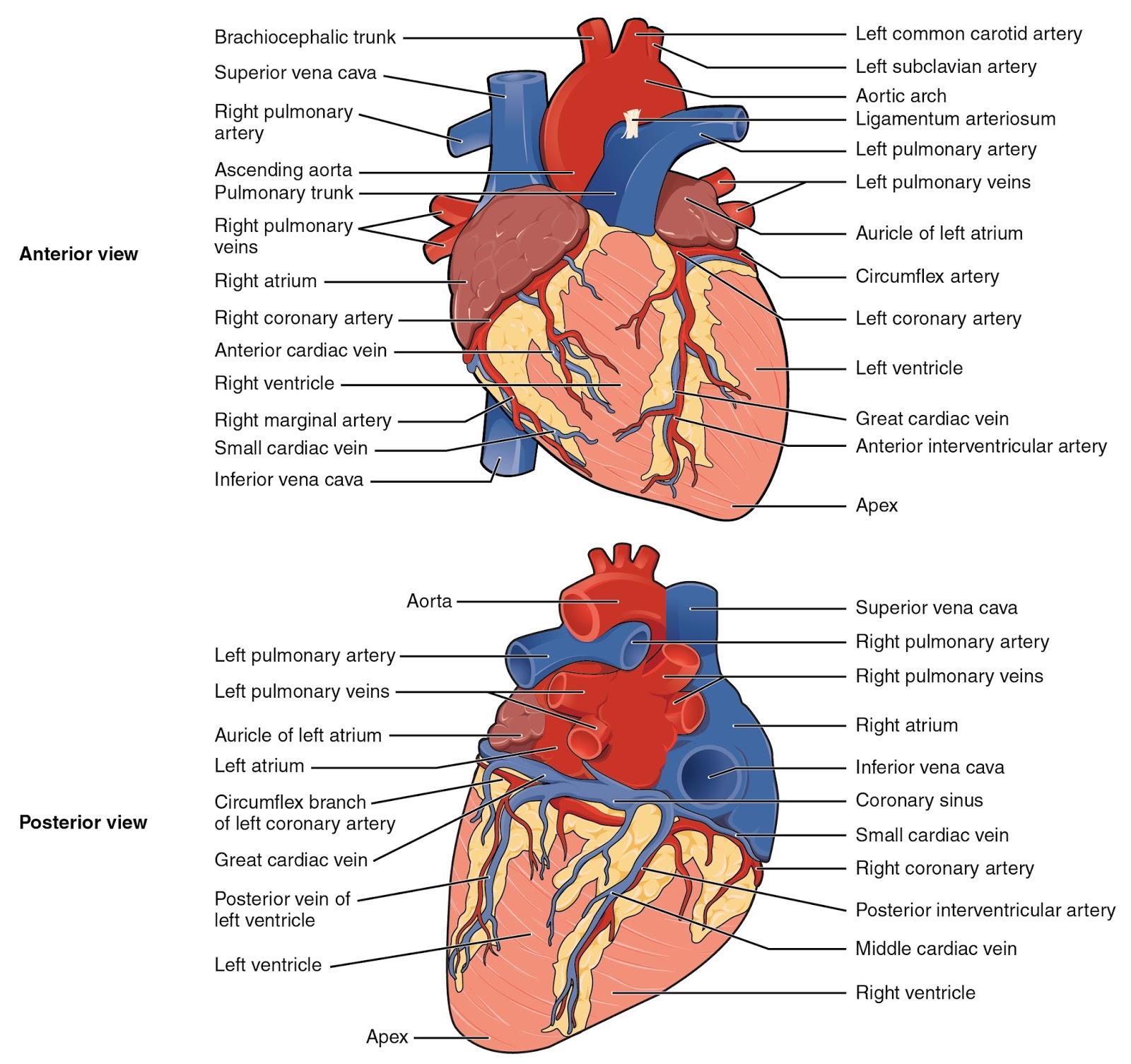Wunderbar Menschliches Herz Diagramm Ohne Etiketten Bilder ...