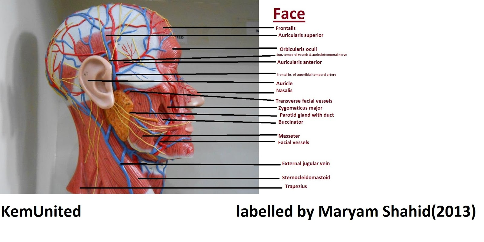Human Head And Neck Muscle Diagram Labeled Circuit Wiring Diagrams Anatomy Learning Center Models Labelled