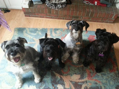 McElyea standard schnauzers pet therapy