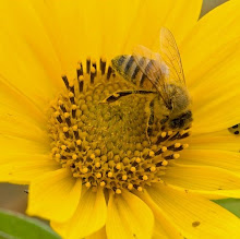 Honey Bee on Helianthus