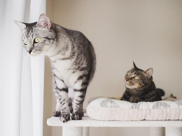 タワーのてっぺんから窓の外を見ているサバトラ猫