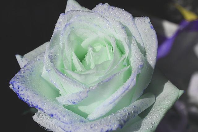 hoa hồng trắng đẹp nhất