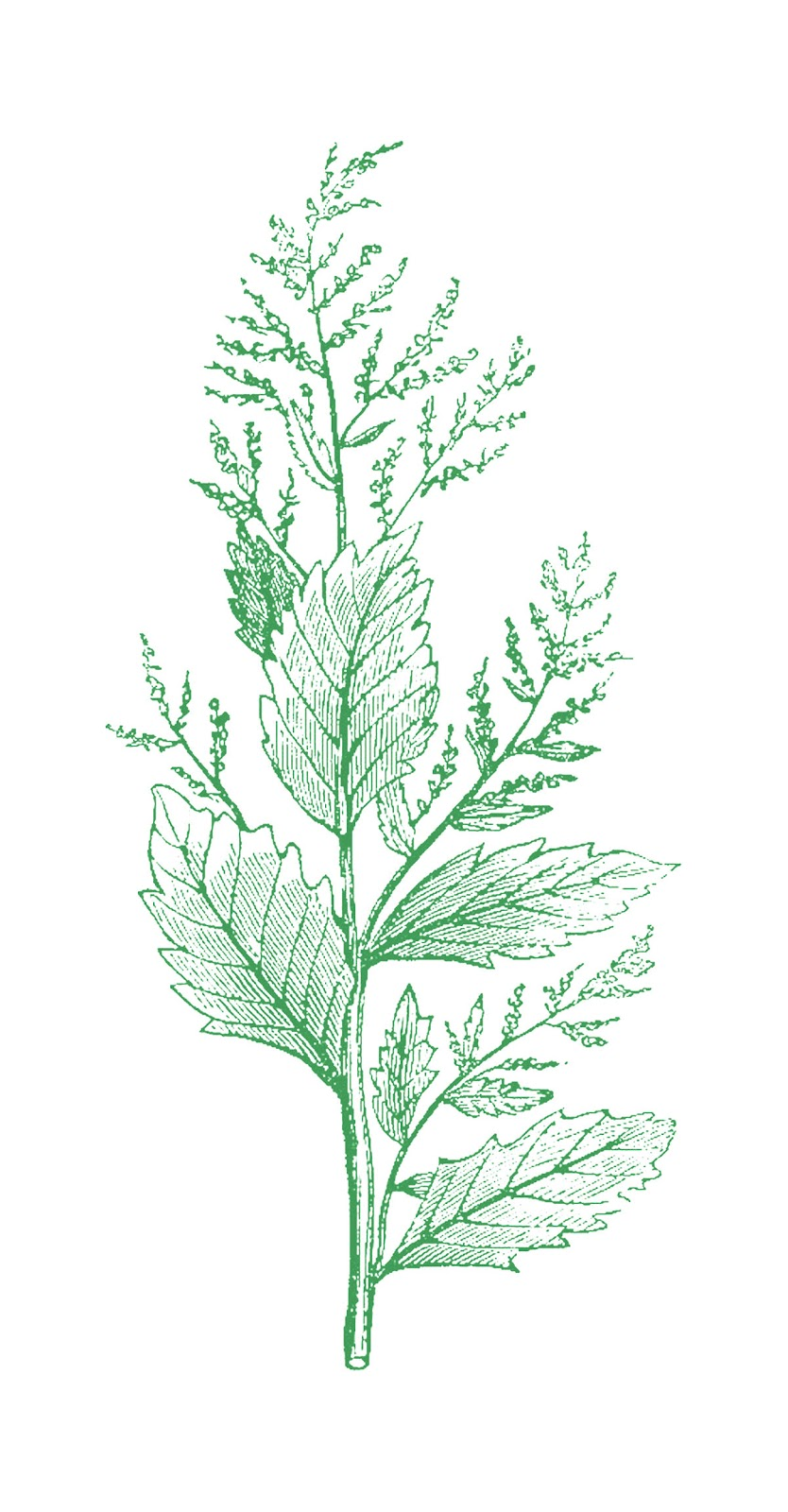 This Is A Vintage Botanical Illustration From Medical And Health Book Again Ive Given You Several Versions Including The Files