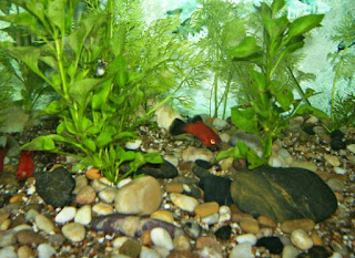 Ikan Hias Aquarium Mini Molly