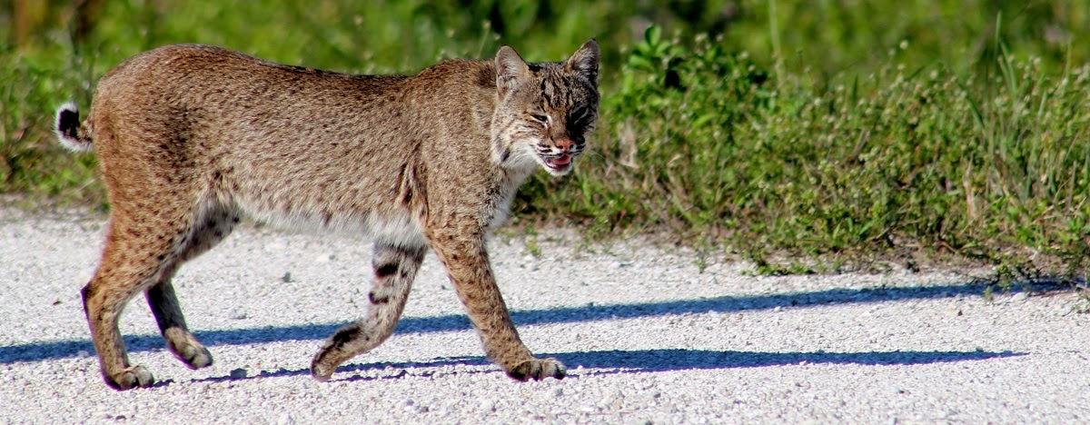 Bobcat o lince (Lynx Rufus)