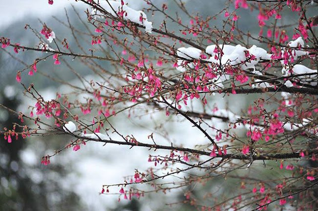 Things you might not know about cherry blossoms in Sapa 1