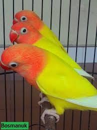 Unduh 990+ Foto Gambar Burung Lovebird Lutino Mata Hitam HD Terbaik