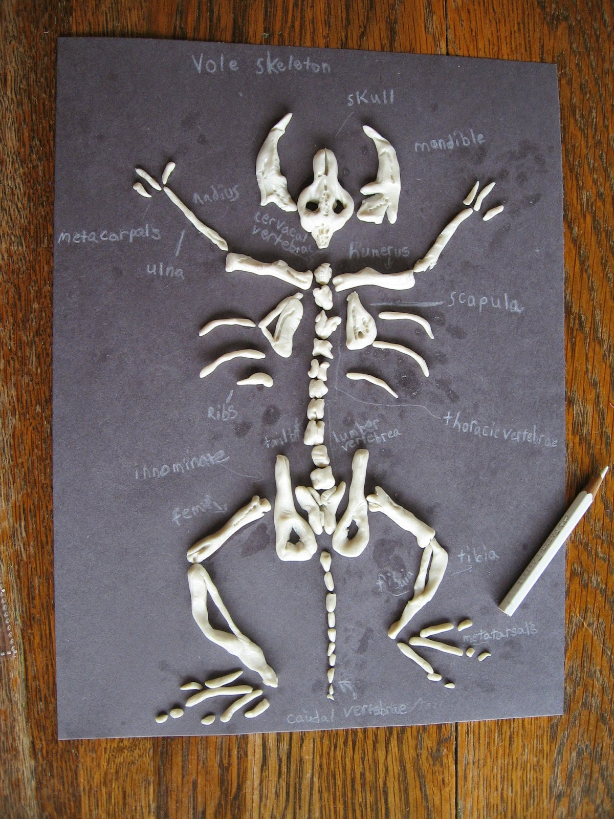 Almost Unschoolers Sculpey Clay Vole Skeletons Owl