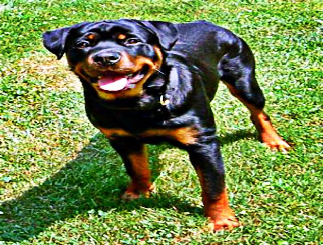Bouvier allemand chien de garde