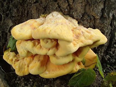 grzyby 2017, grzyby w maju, Laetiporus sulphureus żółciak siarkowy