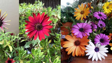 Universo Osteospermum. Plantas rústicas y llenas de color