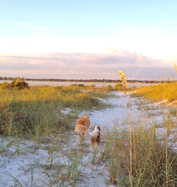 Golden Retriever and Blenheim Cavalier King Charles Spaniel walking on Florida beach