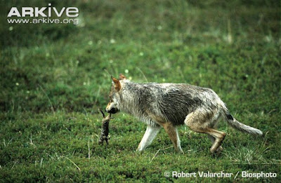 Wolf and Arctic ground Squirrel