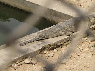Gavialis gangeticus, Gharial