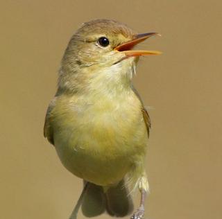 Burung melodius warbler,kicaunya penuh melodi