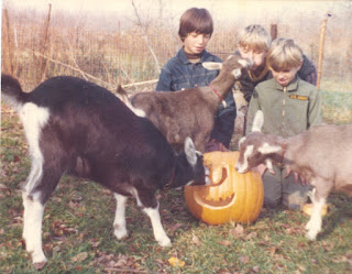 Three boys feeding jack-o-lanterns to three goats